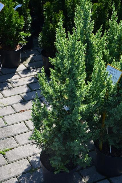 Juniperus chinensis Monarch