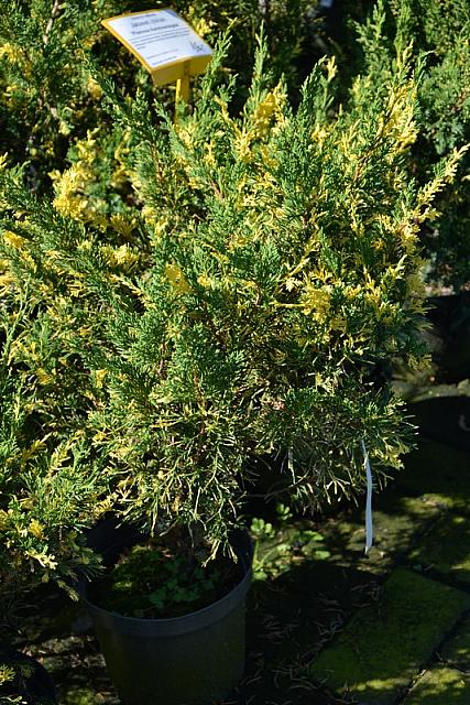 Juniperus chinensis Plumosa Aureovariegata