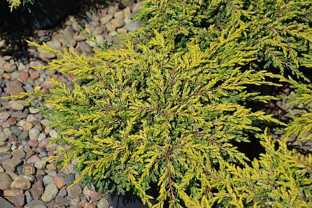 Juniperus communis Goldschatz