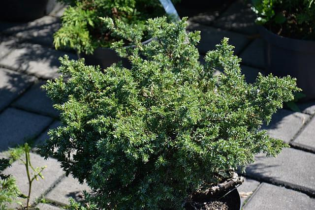 Juniperus communis Haevith Castle