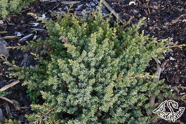 Juniperus conferta Emerald Sea