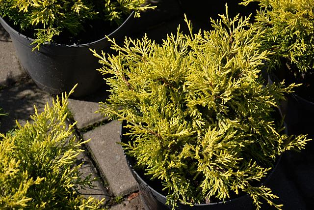 Juniperus media Golden Joy