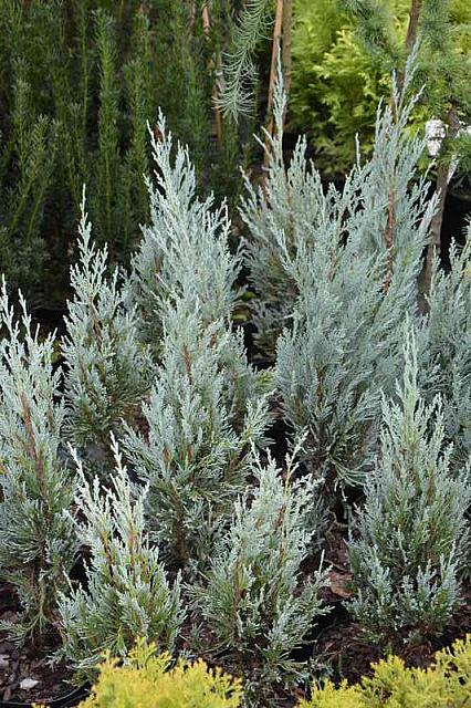Juniperus scopulorum Moonglow