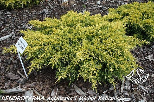 Juniperus x pfitzeriana Daub's Frosted