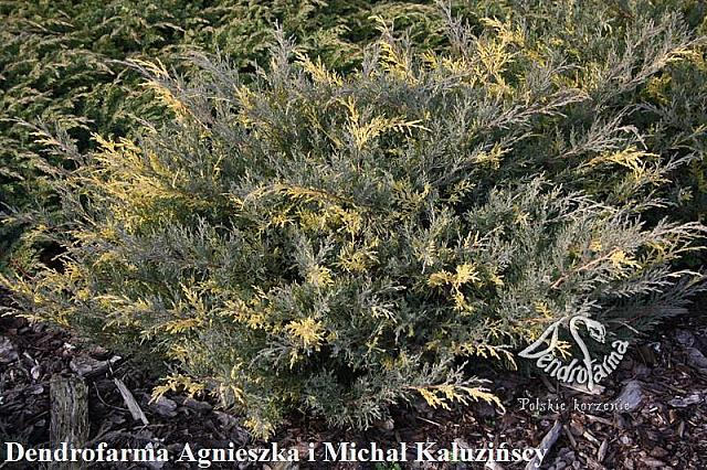 Juniperus x pfitzeriana Blue and Gold