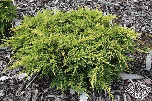 Juniperus x pfitzeriana Goldkissen