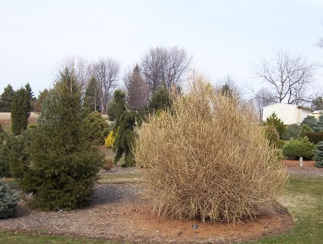 Larix decidua Himmel Broom