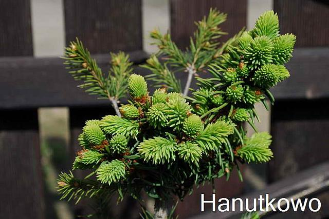 Picea pungens Onyx