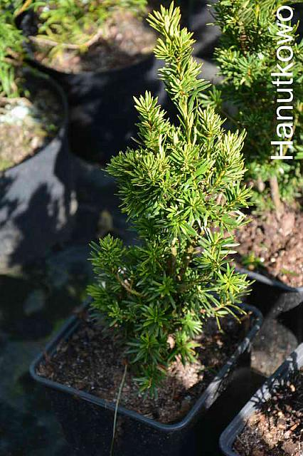 Taxus baccata Germer's Gold