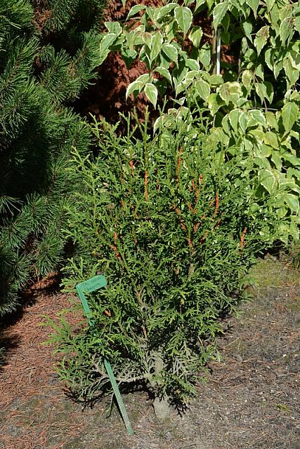Thuja occidentalis Chopin