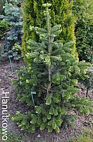 Abies alba Barabit's Star