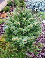 Abies balsamea Bear Swamp