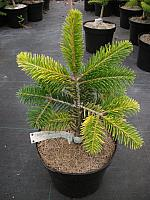 Abies borisii-regis Filip's Colour Catcher