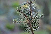 Abies grandis Howell's Prairie