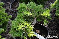 Abies grandis W.C. Gaffney