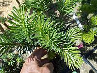 Abies holophylla Twilight