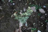 Cedrus brevifolia Kenwith