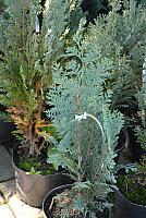 Chamaecyparis lawsoniana Blue Ribbon