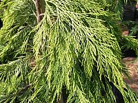 Chamaecyparis lawsoniana Filip's Sunsation