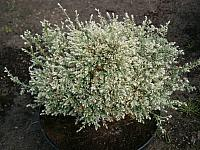 Chamaecyparis pisifera Snow