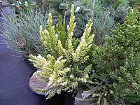 Cryptomeria japonica Top Gold