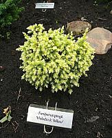 Juniperus pingii Hulsdonk Yellow