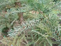 Larix decidua Jan