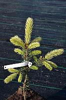 Picea pungens Early Gold