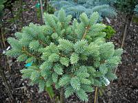 Picea pungens Ed's Broom