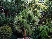 Pinus contorta Broom