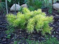 Pinus contorta Golden Striker