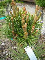 Pinus contorta Hunter