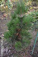 Pinus heldreichii Irish Bell