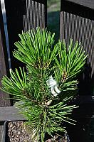 Pinus heldreichii Little Dracula