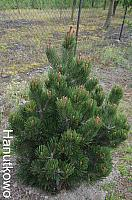Pinus heldreichii Little Gem