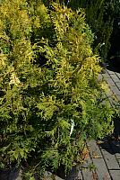 Thuja occidentalis Aurescens