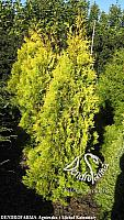 Thuja occidentalis Barabits Gold