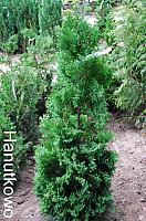 Thuja occidentalis Columnaris
