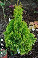 Thuja occidentalis Dobrzyń