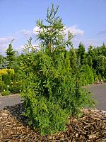 Thuja plicata Filip's Green Queen