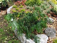 Thuja plicata Holly Turner
