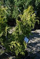 Thuja plicata Irish Gold